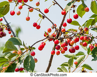 Cherries on the tree in the garden in sunny summer day.