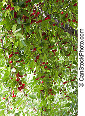 cherries on the tree