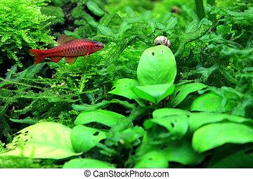 Cherry barb fish swimming in planted aquarium.