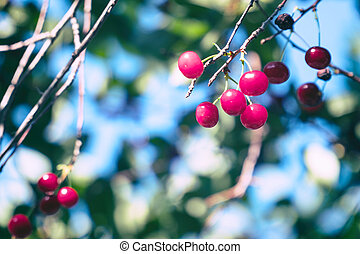 Cherry berries on the branches in garden