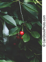 Cherry berries with stem selective focus on tree branch with leaves.