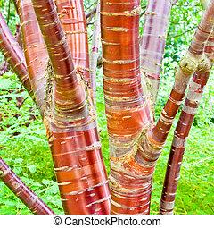 Cherry birch tree - Close up of a cherry birch tree