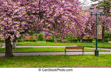 cherry blossom above the benches in the park - cherry...