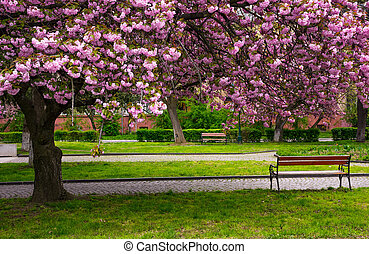 cherry blossom above the benches in the park. lovely...