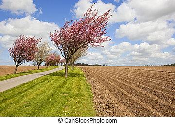 cherry blossom and potato rows