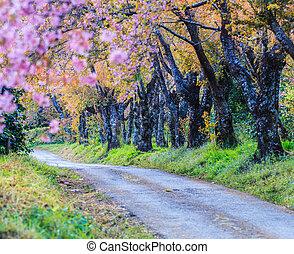 Cherry Blossom and sakura and road