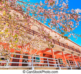 Cherry blossom and sakura in front  hotel and resort
