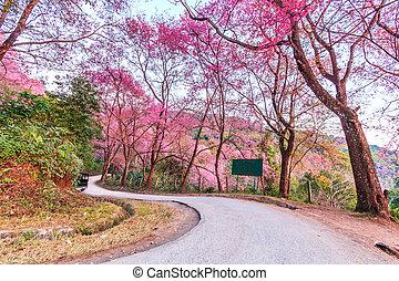 Cherry Blossom and sakura on road Chiang Mai Thailand