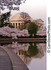 Cherry blossom around Tidal Basin with Jefferson Memorial, ...