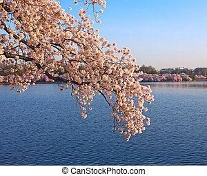 Cherry blossom at dawn