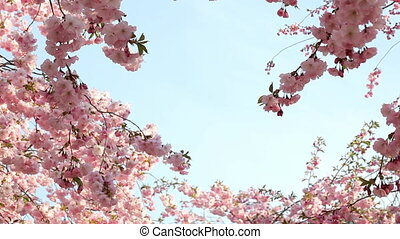 Cherry blossom at spring