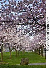 Cherry Blossom Blooming at Spring Time