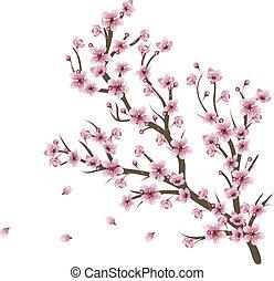 Cherry Blossom Branch - Soft pink cherry blossom flowers on...
