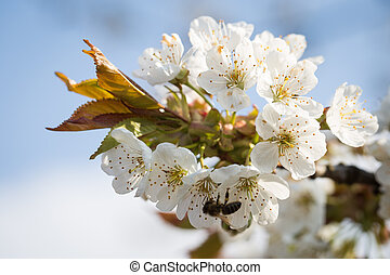 Cherry blossom branch in spring