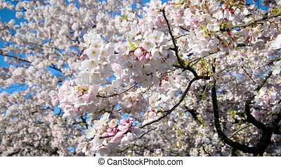 Cherry Blossom Branch - Closeup view of a branch of a cherry...