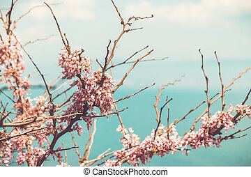cherry blossom branches in sunny spring day