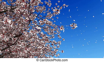 Cherry blossom falling petals slow motion - Close up low...