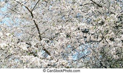 Cherry blossom filling the frame
