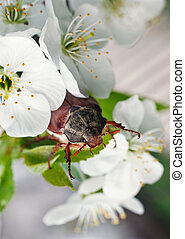 chafer - cherry blossom flower chafer on macro