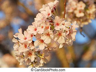 Cherry Blossom Flower