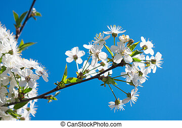 Cherry blossom flowers in spring, blooming on young tree over blue clear sky.
