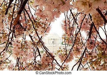 Cherry Blossom Flowers in Washington DC