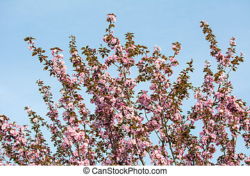 Cherry blossom flowers on a tree
