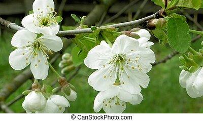 Cherry blossom flowers on the tree branch. Springtime...