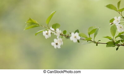 Cherry blossom flowers panning