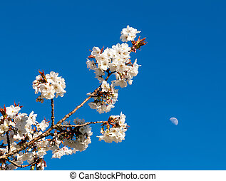 Flowers of cherry blossom tree with the moon in the sky behind