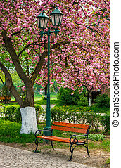 cherry blossom in city park. wooden bench and lantern under...