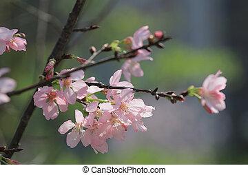Cherry blossom in hk