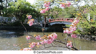 Cherry blossom in Kamakura - Branches of cherry blossom...