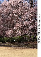 Cherry blossom in Tokyo