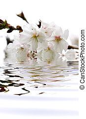 Cherry blossom in water - Branch of oriental flowering ...