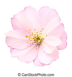 Close-up of a delicate bright pink cherry blossom on white background