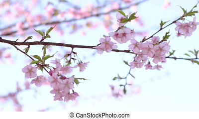 Cherry Blossom - It's a nature location in Tokyo. We are...