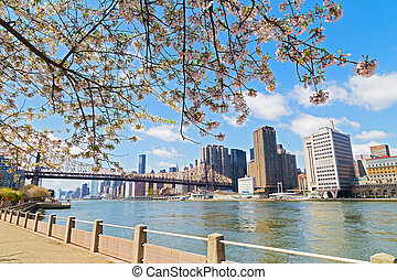 Cherry Blossom near East River and view on skyscrapers of Manhattan, New York city. Queensboro Bridge, East River and cherry blossom on Roosevelt Island