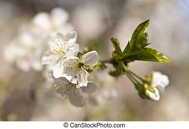 cherry blossom on a tree