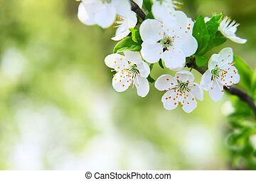 cherry blossom on blurred green