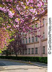 cherry blossom on the city street of Uzhgorod. beautiful...