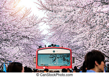 Cherry blossom or Sakura and trian in spring at Jinhae, South Korea.