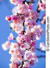 cherry blossom, pink sakura flower with nice bule sky color