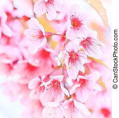 Cherry blossom, sakura flowers  background