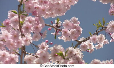 Cherry blossom. - Shot of spring tree with pink cherry...