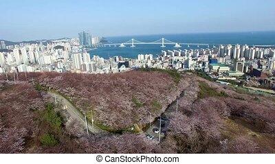 Cherry Blossom Spring of Geumryeonsan Mountain, Busan, South Korea, Asia