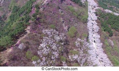 Cherry Blossom Spring of Hwangryeonsan Mountain, Busan, South Korea, Asia