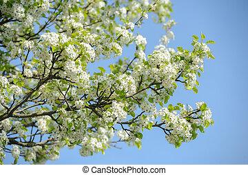 Cherry blossom-Spring