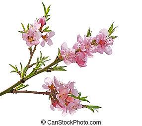 Cherry Blossom - Peach flower Sakura cherry blossom isolated...