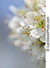 cherry blossom - close on cherry blossom bouquet on vaporous...